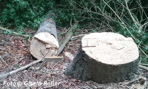Baumfällungen im Berghölzchen _1