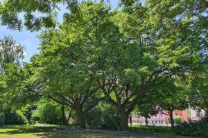 Bäume beim Minigolfplatz nähe Alfelderstrasse